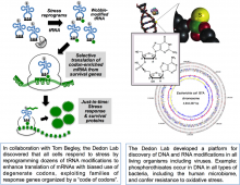 Two images describing aspects of DNA and RNA modification research in the Dedon Lab.